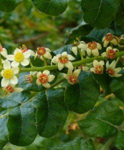 Frankincense Flowers
