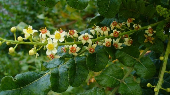 Frankincense Flowers