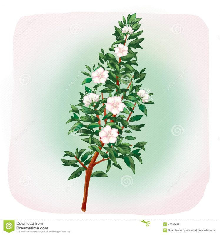 myrtle-flowers-myrtus-tree-white-light