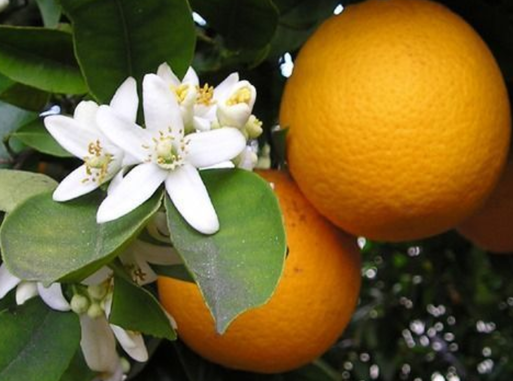 Neroli Orange Blossom