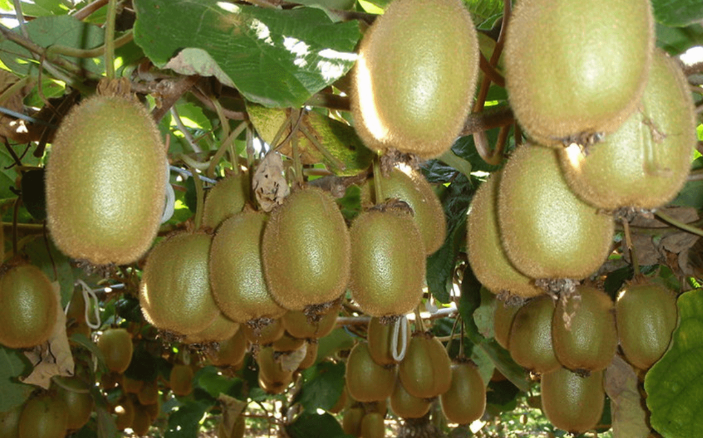 Kiwifruit growing on trees